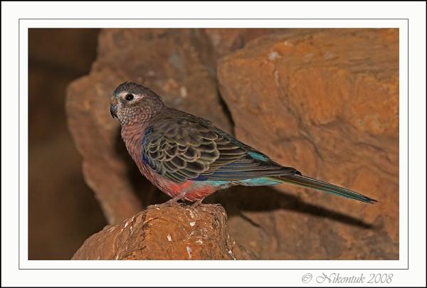 Bourke\'s Parakeet by FeatherFriend