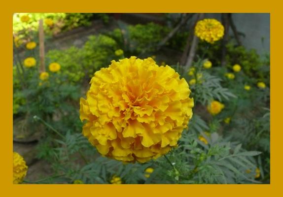 Marigold by kanu