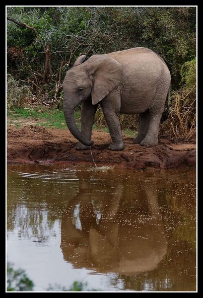 Elephant Calf by challicew