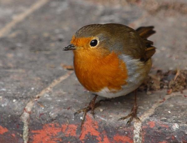 Robin by Willmer