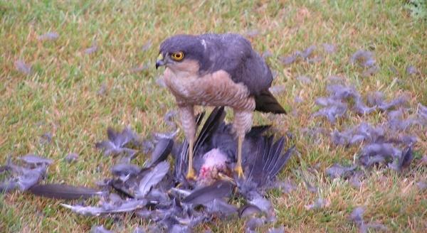 Bird of Prey by 8Mfps