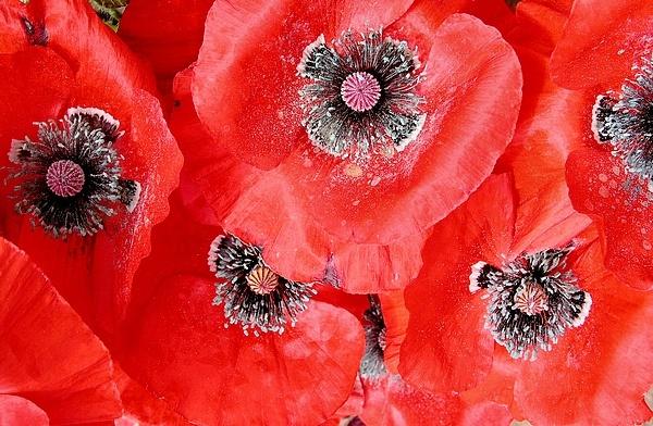 poppies by MacroRebel