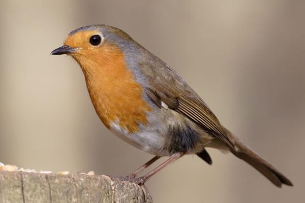 Robin by Terrym1