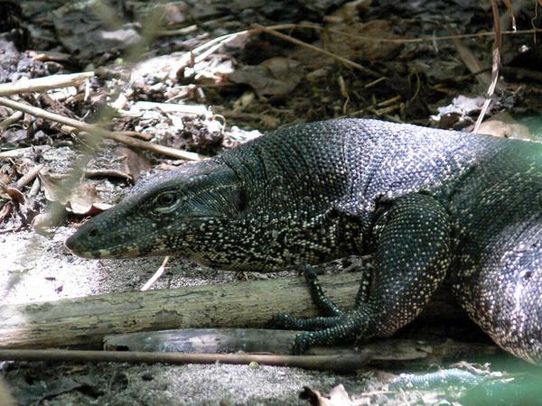 Monitor Lizard by rikewoo