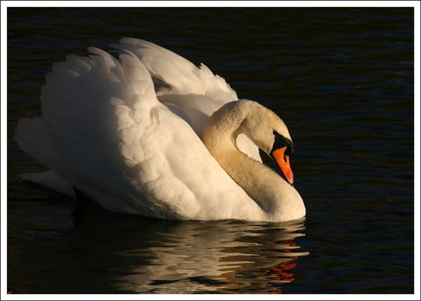 Swan by ziggy