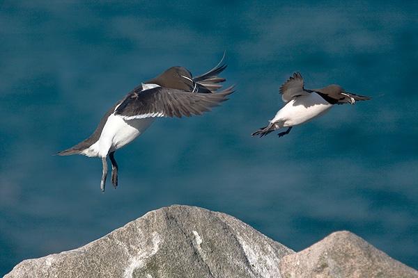 Razorbills in Flight by Snaphappyannie