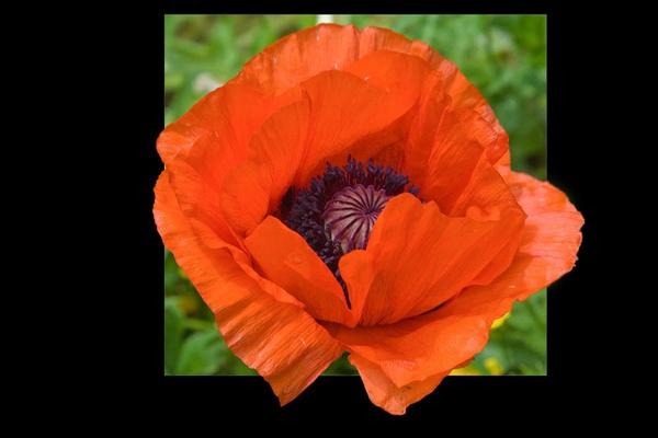 Poppy by ednys