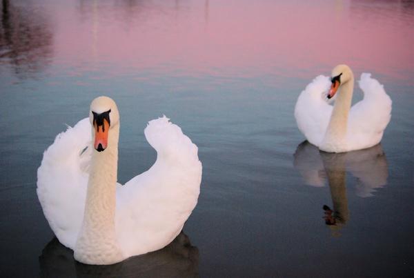 Swans at Sundown by DunDiggin