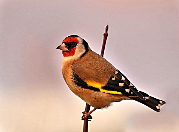 Goldfinch by Rodmac