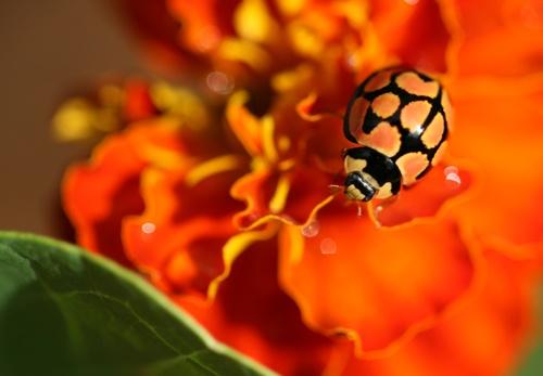 Ladybird on marigold by DeirdreH