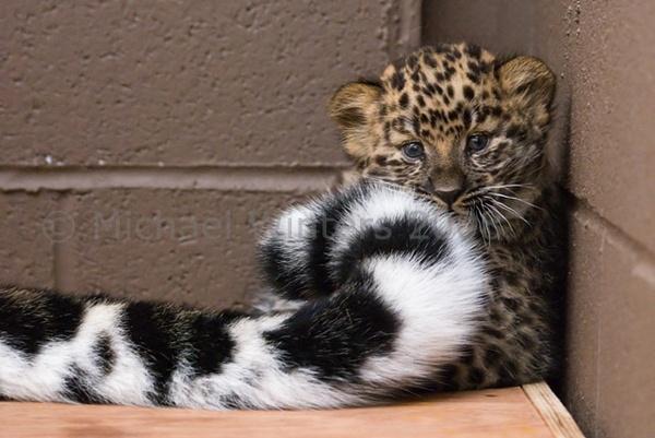 Amur Leopard cub by Milvus