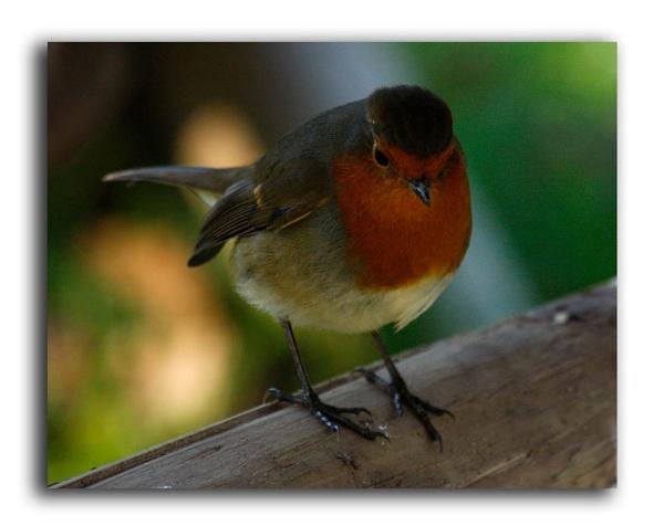 Winter Robin by Lois96