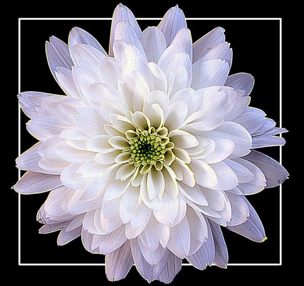 Chrysanthemum by derekv