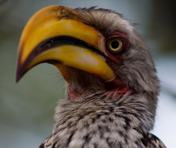 Yellow-billed hornbill no 2 by JakeK