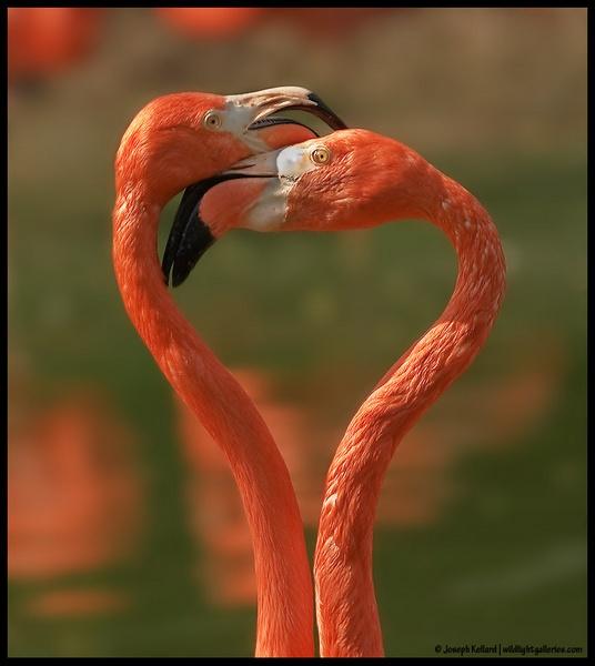 Flamingo Heart by WildLight