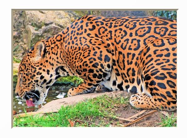 Jaguar by Stuart463