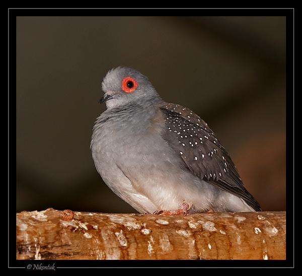 Diamond Dove by FeatherFriend
