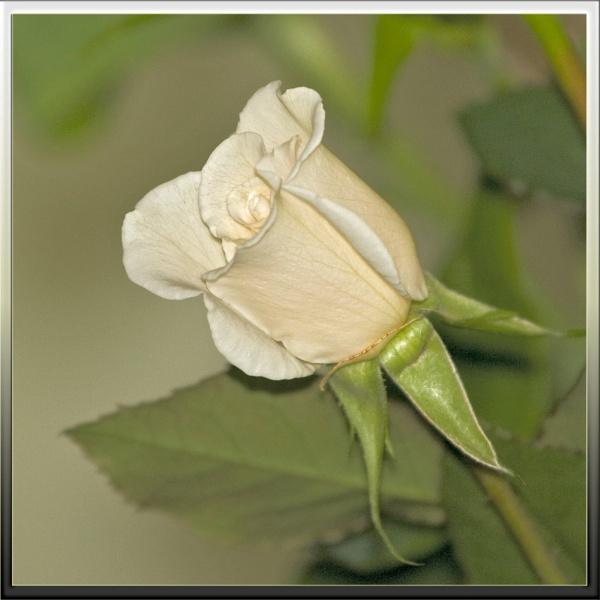 Rosebud by teocali