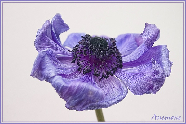 Anemone by Angi_Wallace