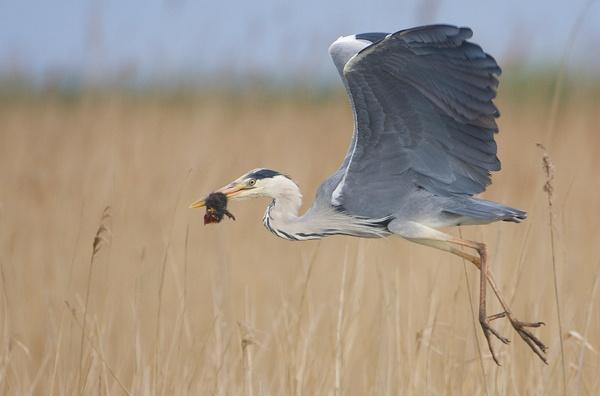 Heron by nigelpye