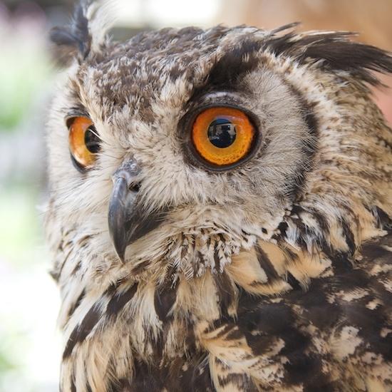 Tawny Owl by mattphotos