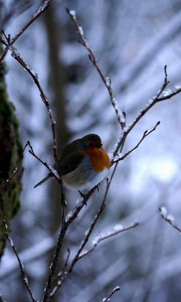 Robin by HANNAY