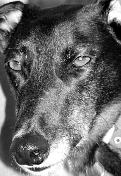 Greyhound by SarahKate