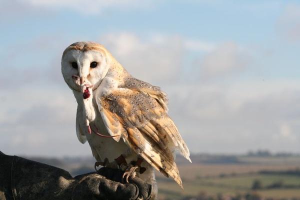 owl by samknox