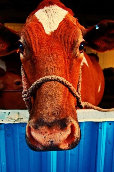 Cow by L109MR