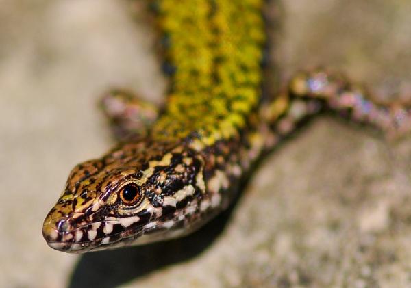 European Wall Lizard by chalkhillblue