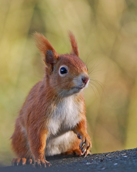 Red Squirrel by chalkhillblue