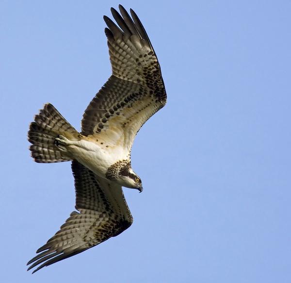 Osprey by targetman