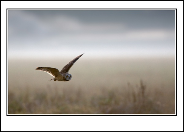 Short Eared Owl by ron thomas
