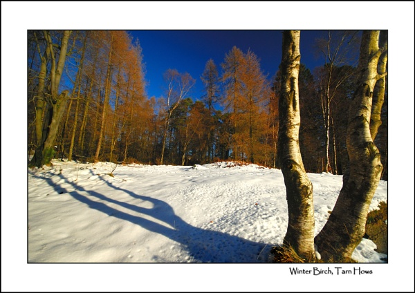 Winter Birch, Tarn Hows by gnospellius