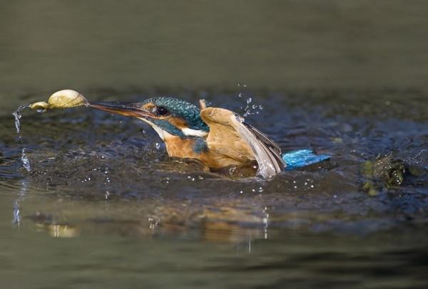 Shelfish bird by pronature