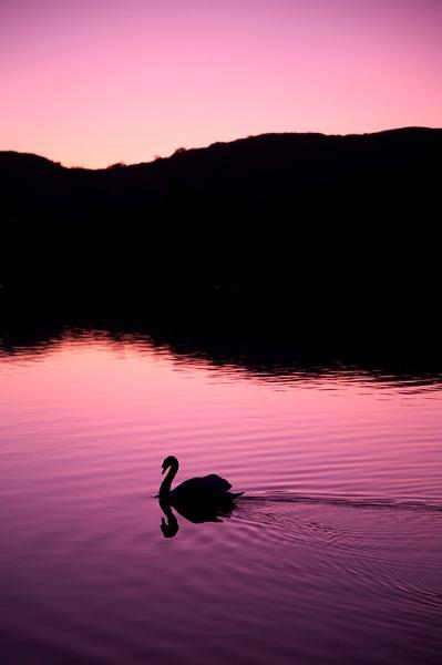 Swan by mjsayles