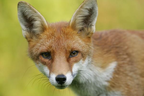 Foxy Lady! by The_Jedi