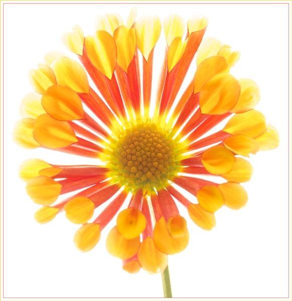Flower Burst by Cabit