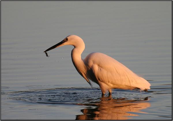 Little Egret fishing by renavatio
