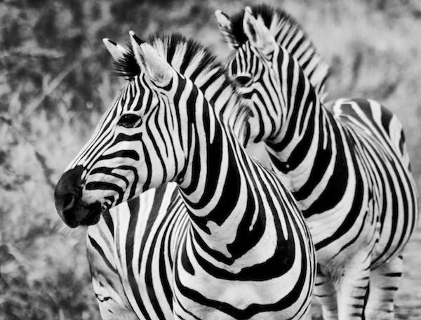 Zebra by jamess
