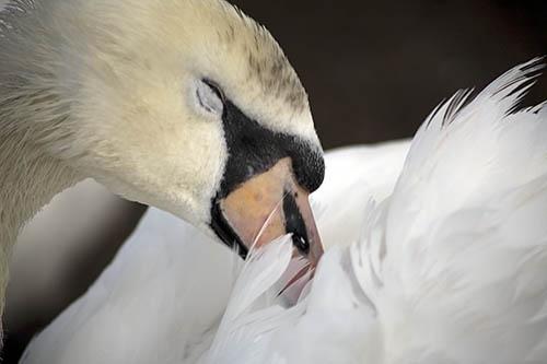 swan by Soulstar