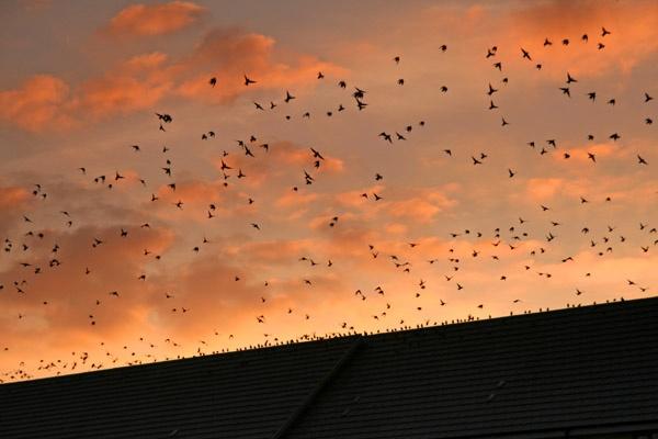 Starlings take flight by danielwaters
