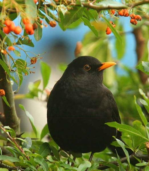 Blackbird red berries by danielwaters