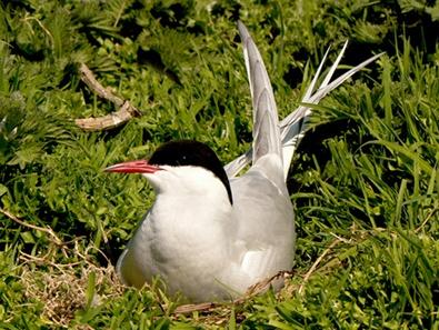 Tern on nest by roymag