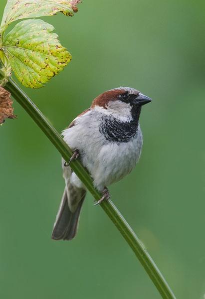 House Sparrow by nigelpye