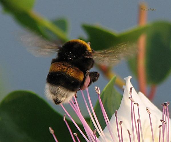 Bee by MartinAgius
