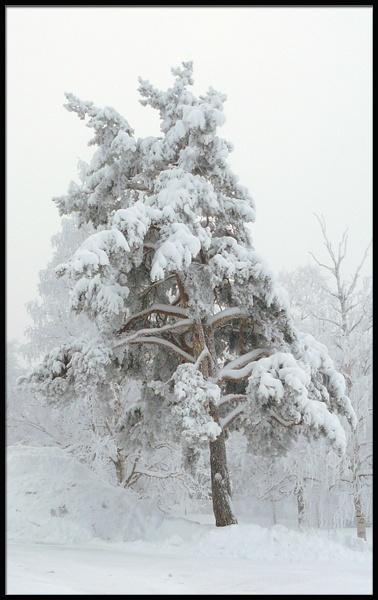cool pine by benteb