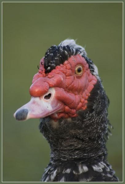 Poultry by dan45