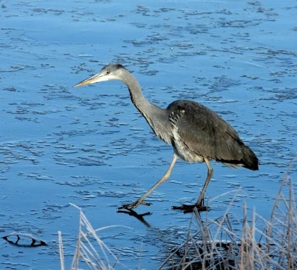Grey Heron by ukdrifter
