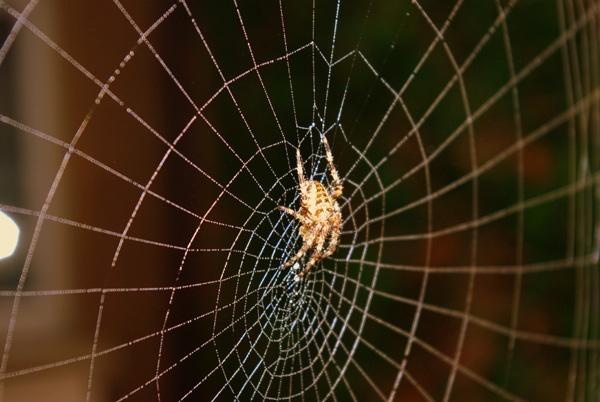 Garden Spider by Graham15